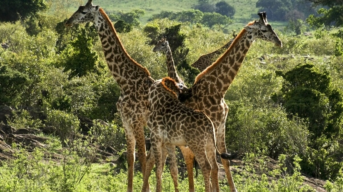 Kenija - žirafe