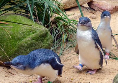 Phillip Island, Australija, pingvini