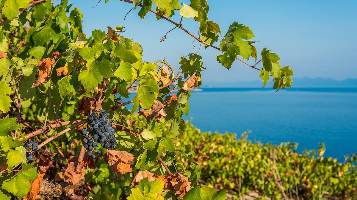 Pelješac, vinograd