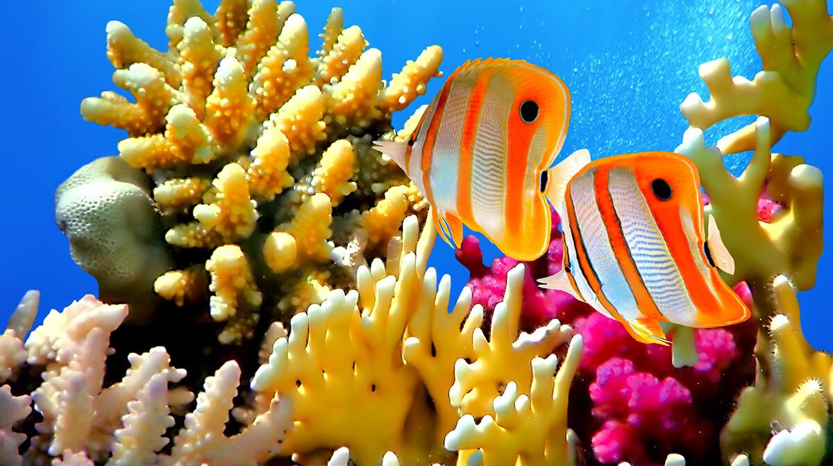 Crveno more, koralji, leptir riba, putovanje Egipat, ljetovanje, mondo travel, garantirani polasci