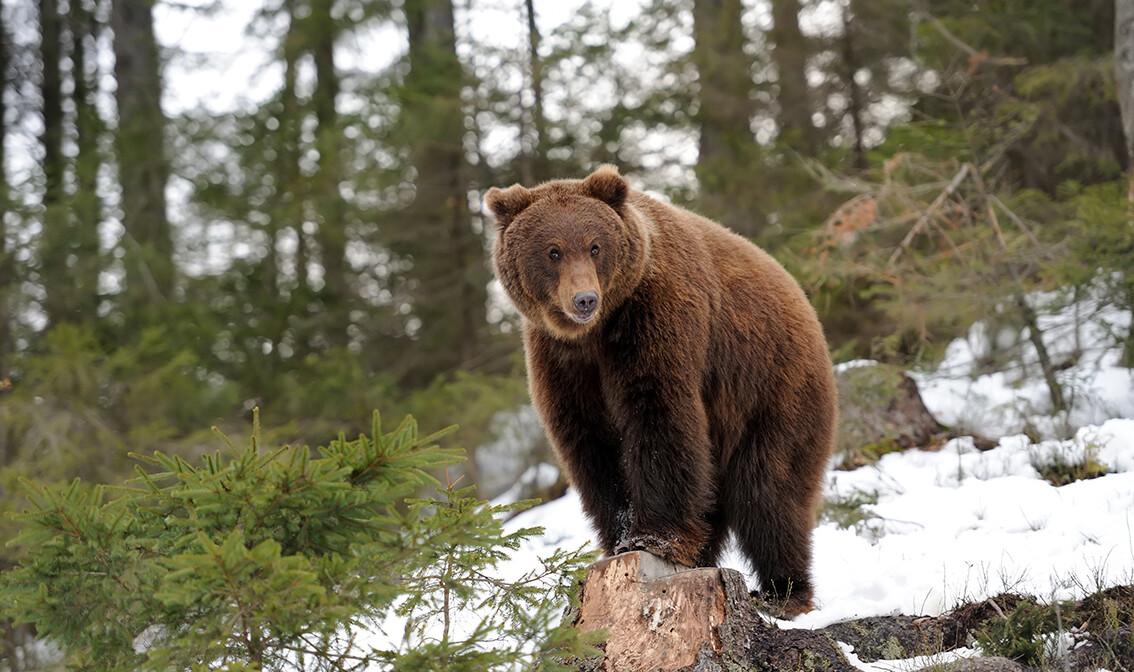 Putovanje Lika i Velebit, medvjed zimi, garantirani polasci, putovanje sa pratiteljem, vođene ture