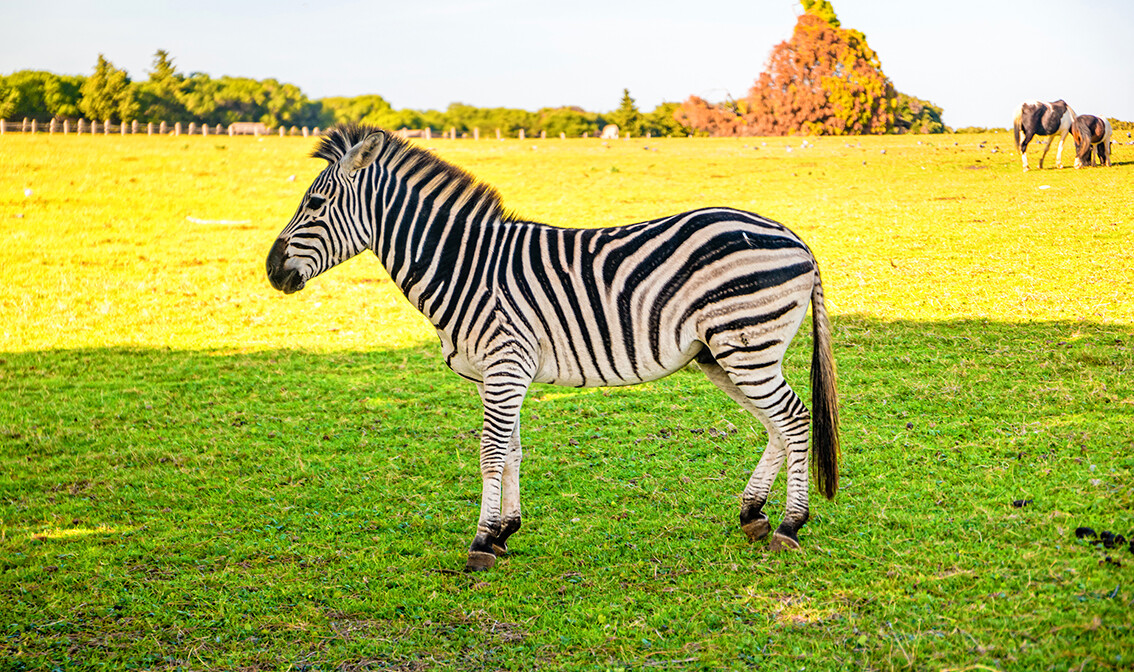 Hrvatska, Istra, Brijuni, zebra u prirodnom rezervatu, putovanje autobusom, garantirani polasci