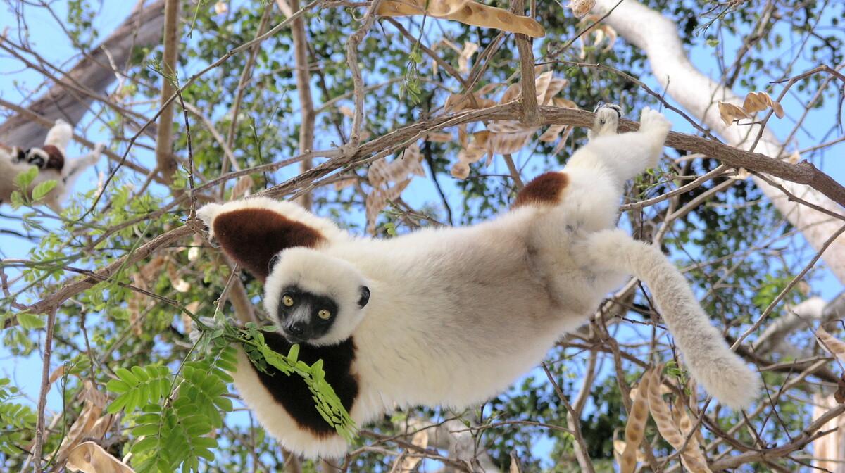 Madagaskar - lemur