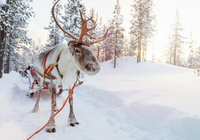 Snježni sob koji vuče saonice, putovanje Rovanijemi-snježni dom djeda Mraza, Mondo travel