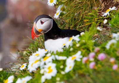 Puffin je ptica sa Islanda, putovanje na Island